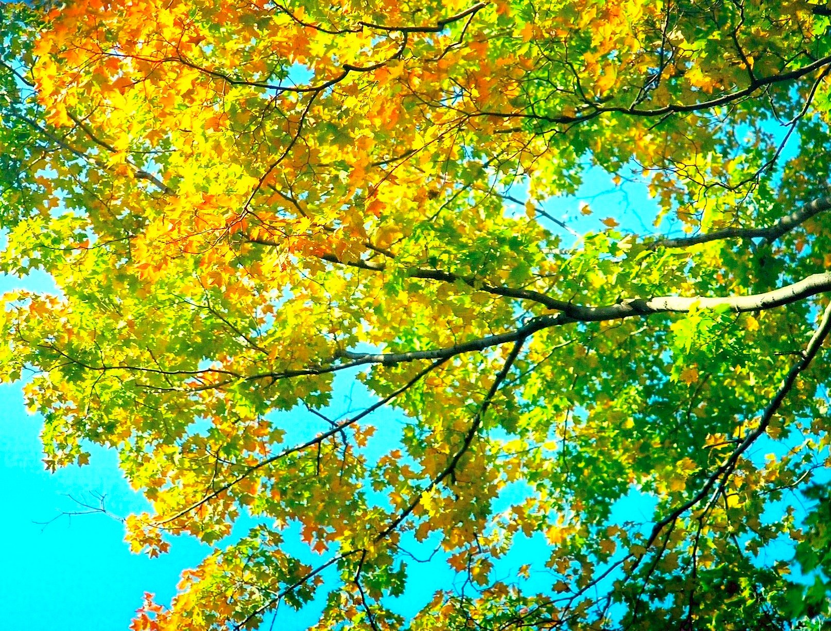 Maple trees turning color autumn by Aplaster